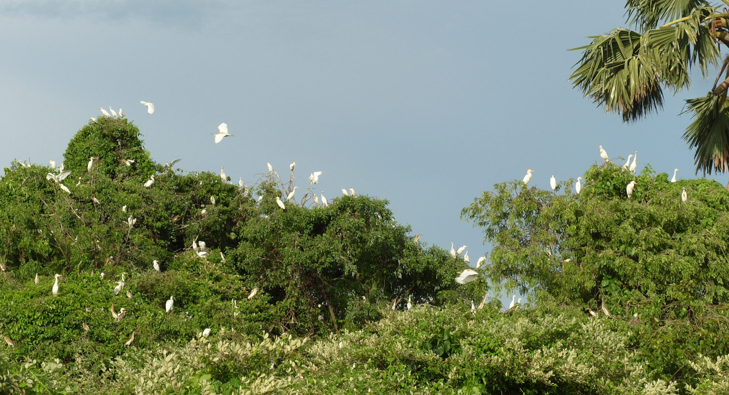 Colony with 3 different Herons and Egrets at Zazamalala.
